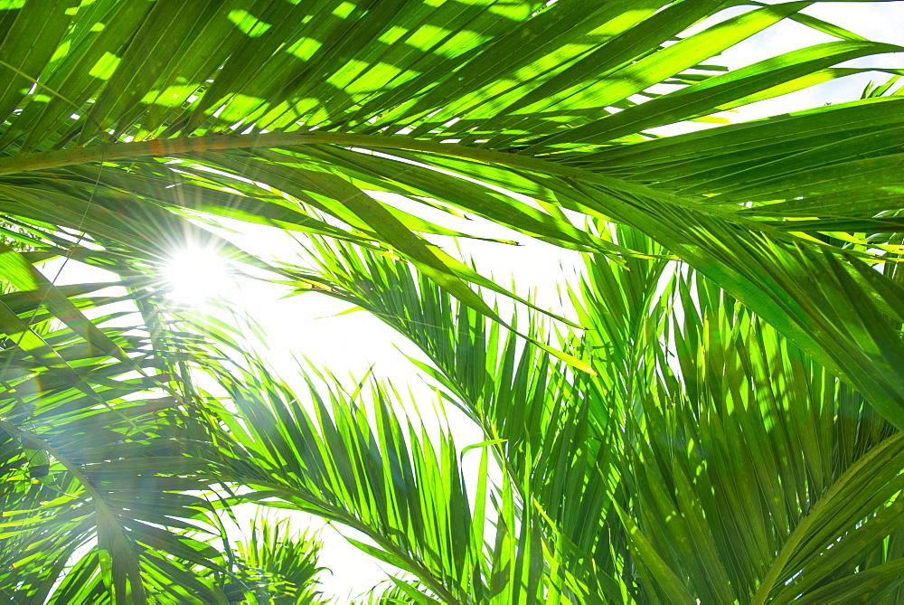 Palm leaves, Jamaica