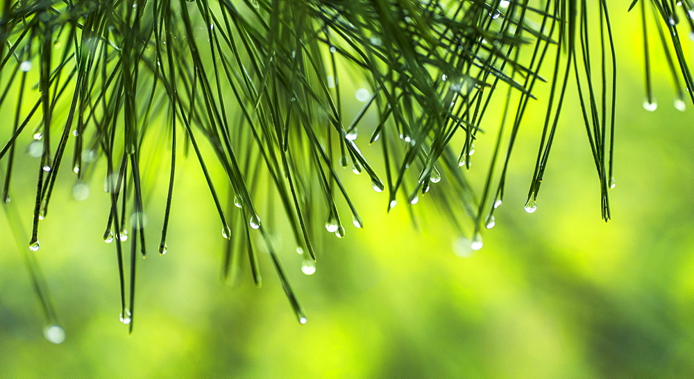 Water droplets on pine needles