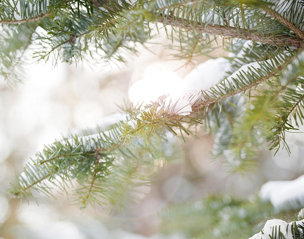 Snowy branch in winter