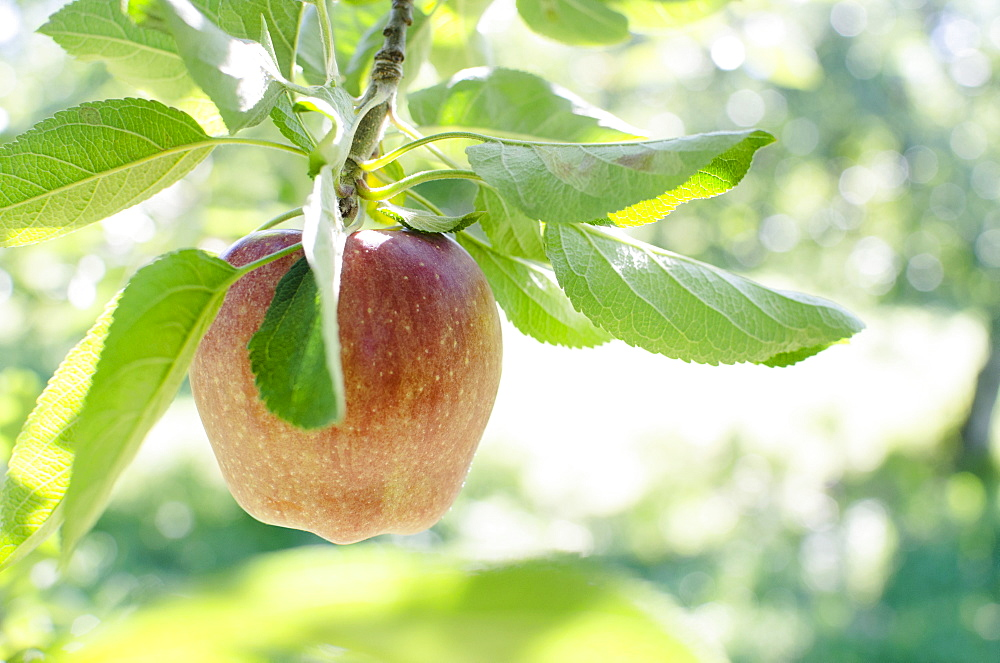 Ripe apple hanging from branch, USA, New York State, Warwick