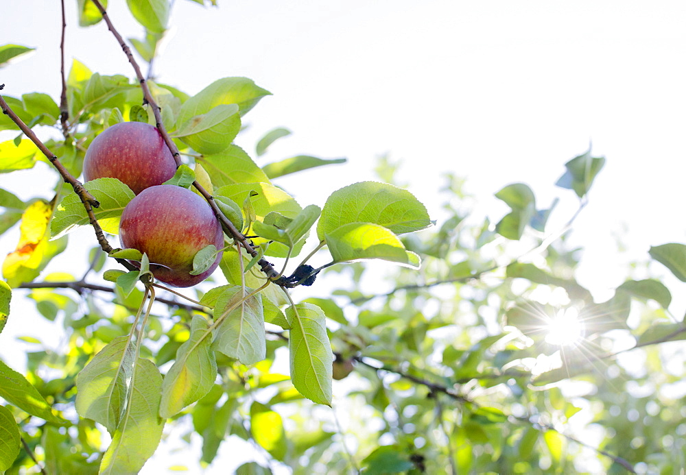 Apples on tree, USA, New York State, Warwick