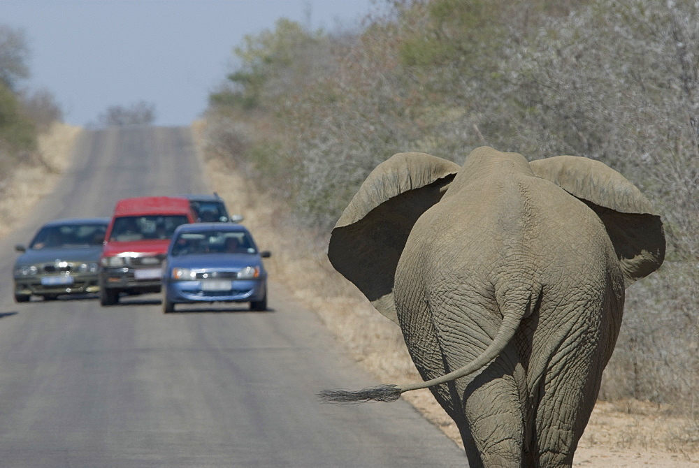 Cars stopping to watch elephant on road