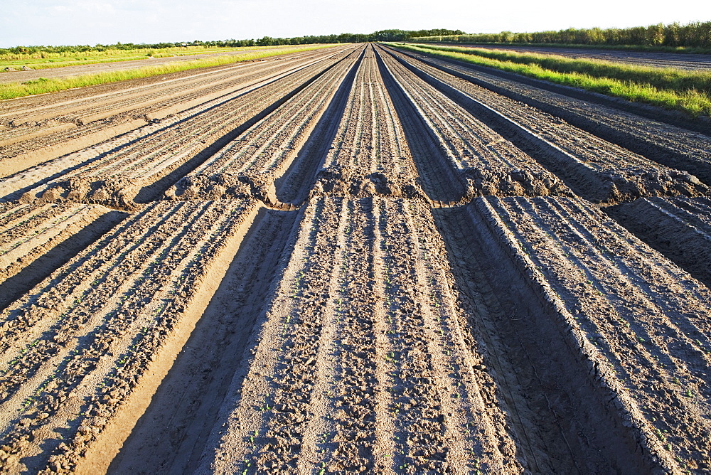 Rows in field, Florida, United States