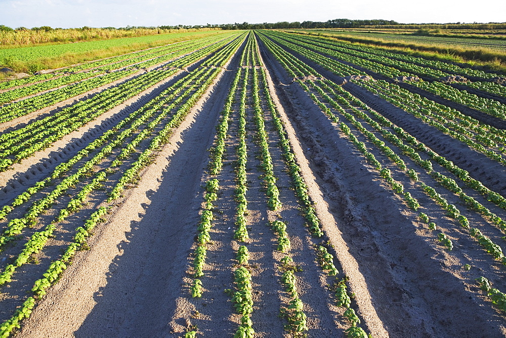 Rows of basil, Florida, United States