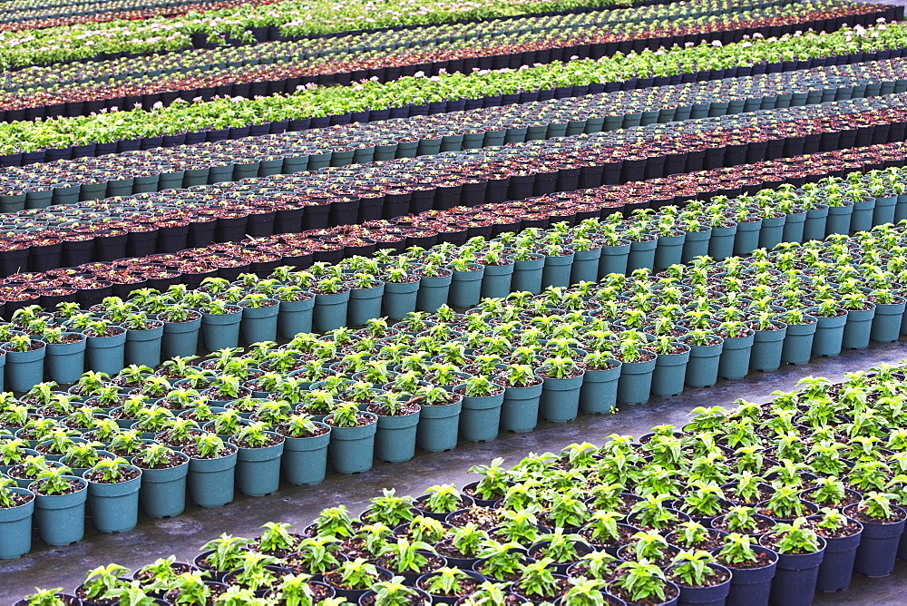 Rows of nursery plants