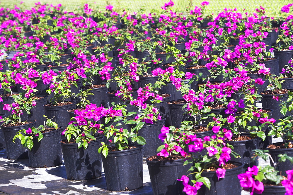 Rows of potted flowers