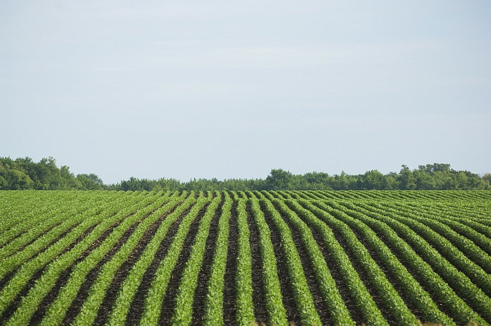 Rows of soy beans in field