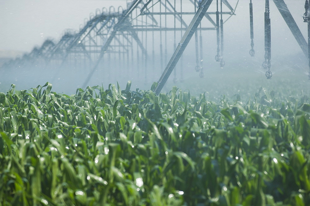 Irrigation over corn field