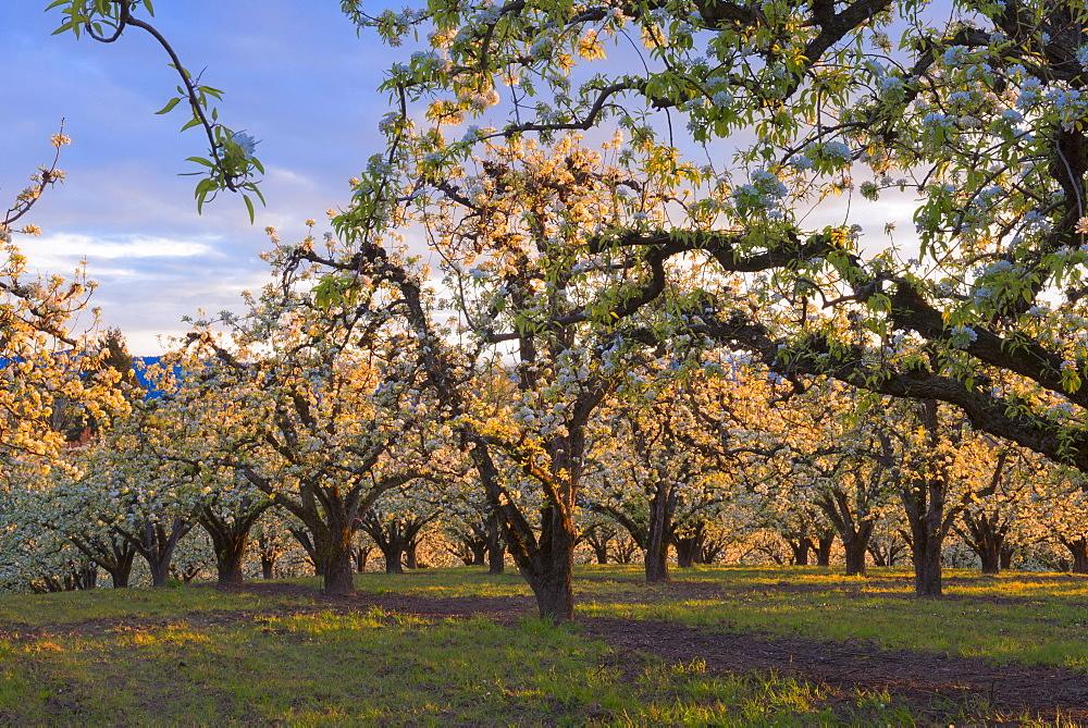 Blooming orchard, Hood River, Hood River, Oregon, USA