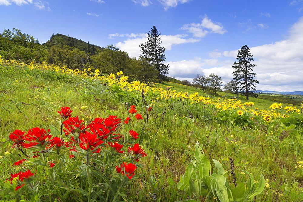 Flowers on meadow, Rowena Crest, Oregon, USA