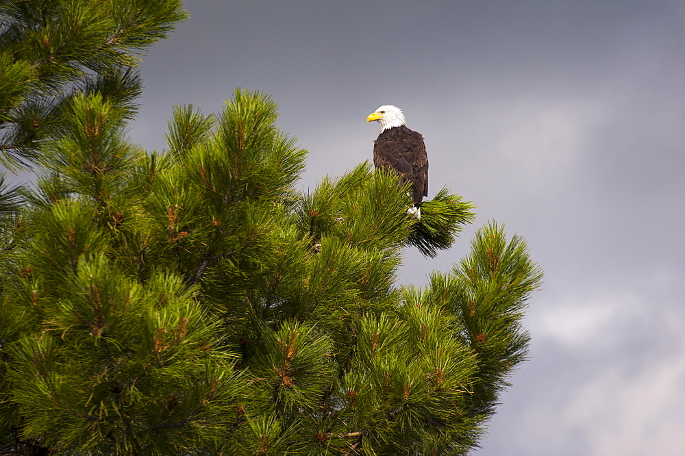 Bald Eagle (Haliaeetus leucocephalus) on tree, Lake County, Oregon