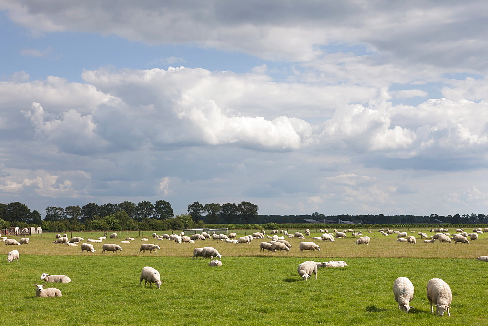 Flock of sheep on pasture, Hilvarenbeek, Netherlands