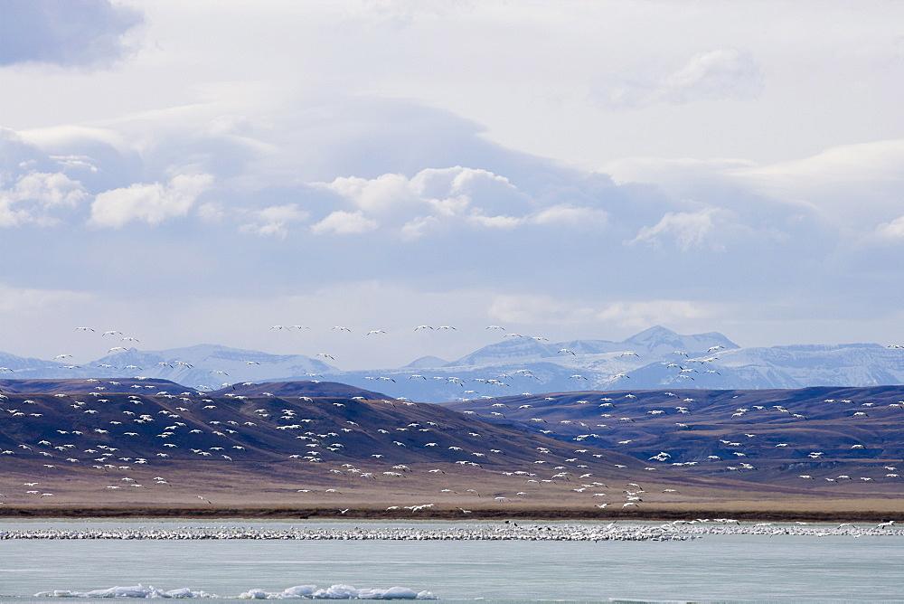 Flock of Gregarious geese over lake, Freezeout Lake, Montana, USA