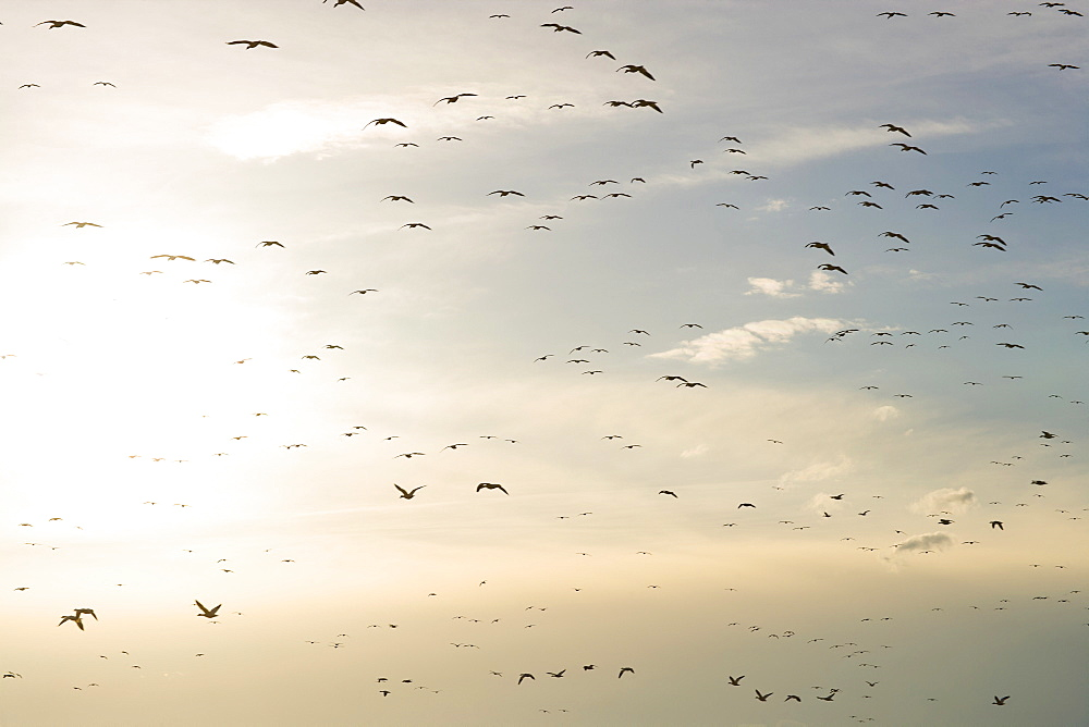 Flock of Gregarious geese flying at sunset