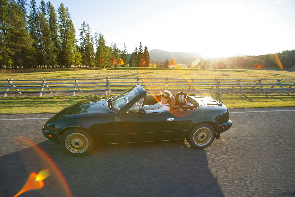 Woman driving convertible car with dog on back seat, Montana, USA