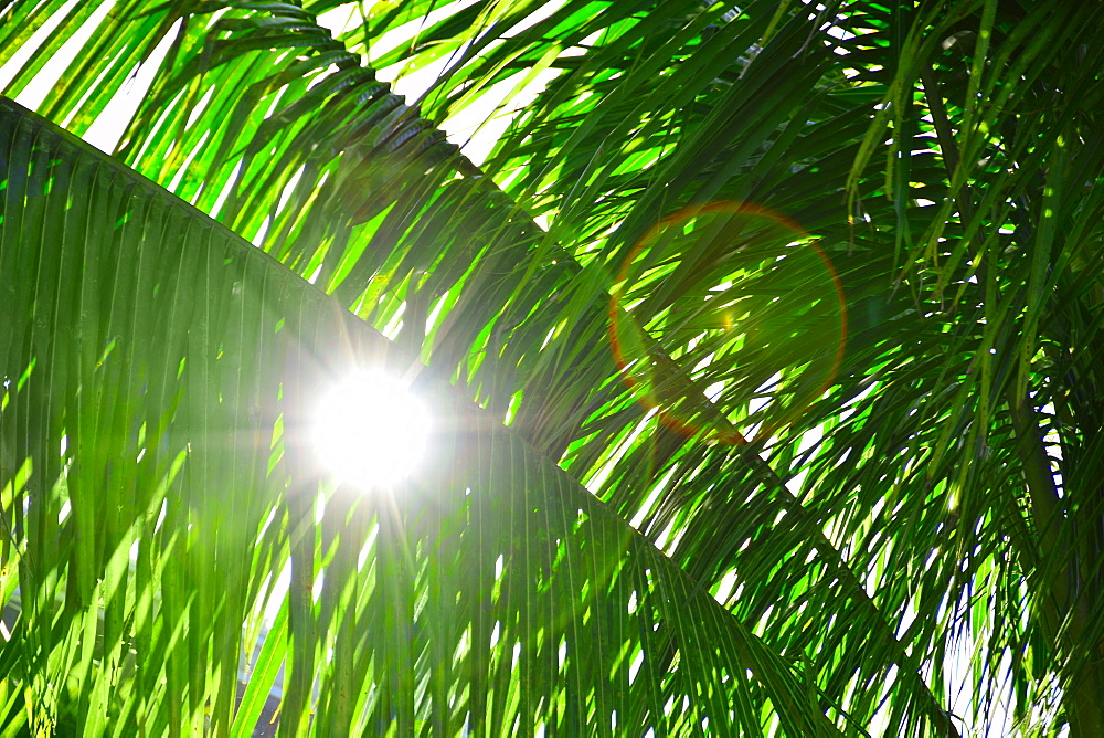Sunlight behind palm leaves, Palm Beach, Florida