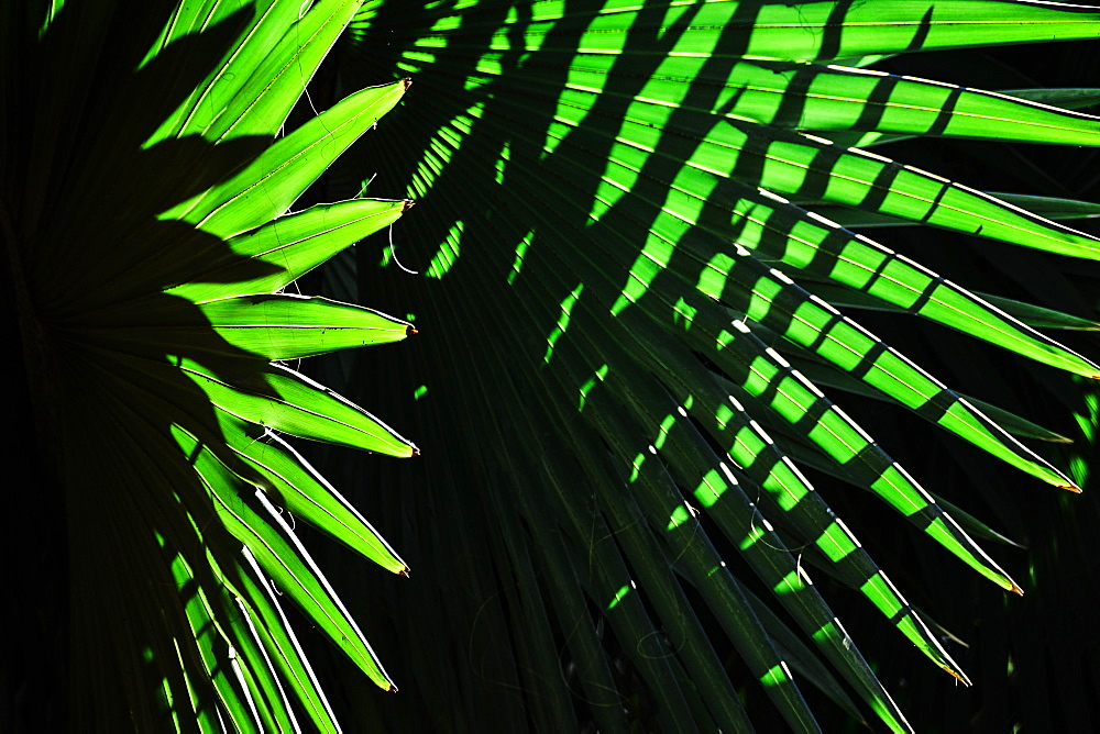 Sunlight in palm leaves, Palm Beach, Florida