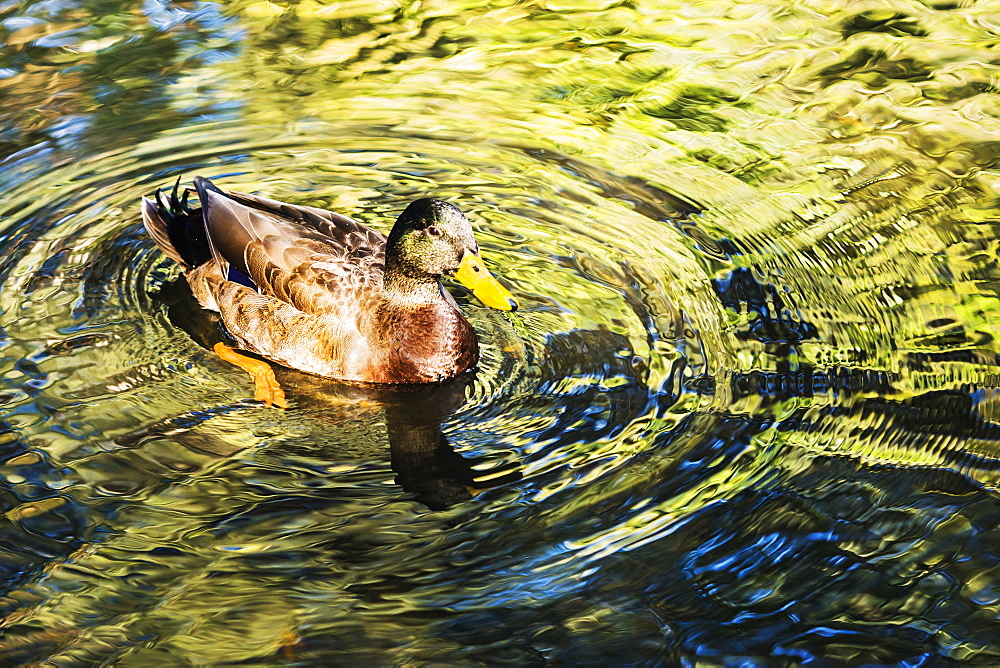 Duck swimming in water, West Palm Beach, Florida