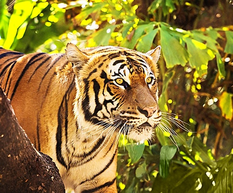 Close up of tiger, West Palm Beach, Florida