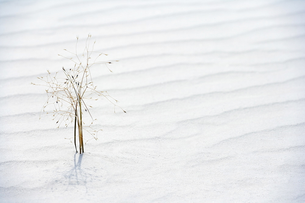 Plant growing in sand, White Sands National Monument, Alamogordo, New Mexico