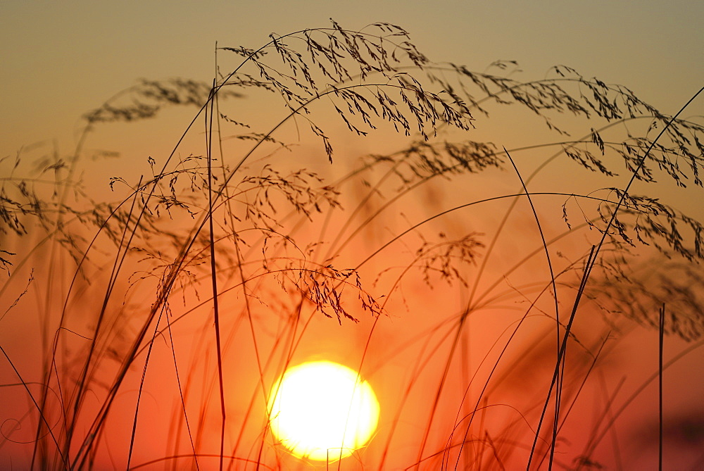 Stems of grass silhouetted against setting sun, Truro, Cape Cod, Massachusetts