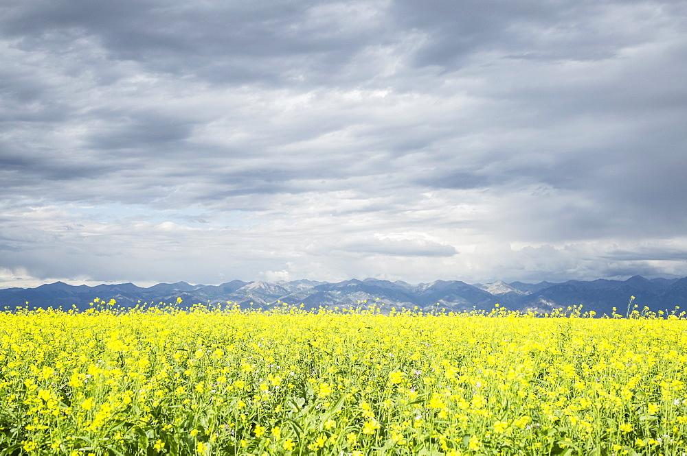 Scenic view of canola field, Colorado, USA