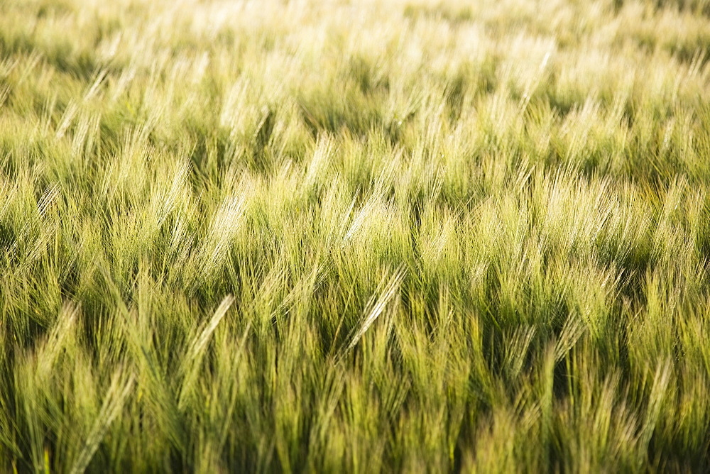 Barley in field