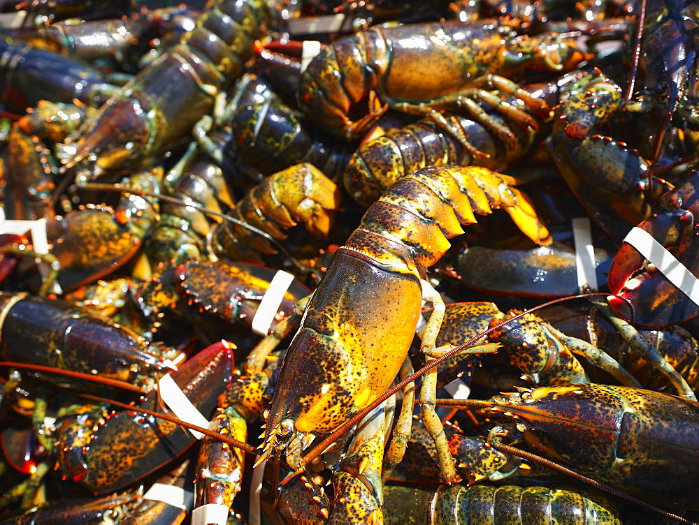 Close up of fresh lobsters