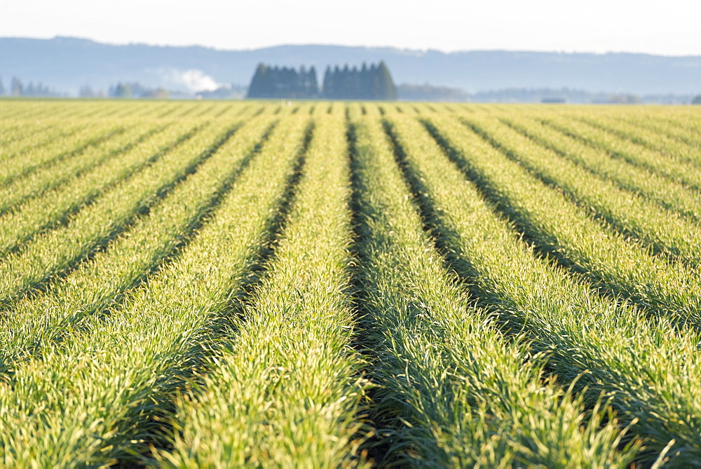View of rows of plants in field, USA, Oregon, Marion County