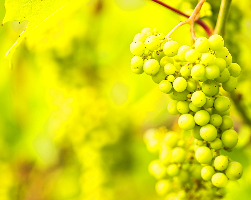 White grapes growing in vineyard