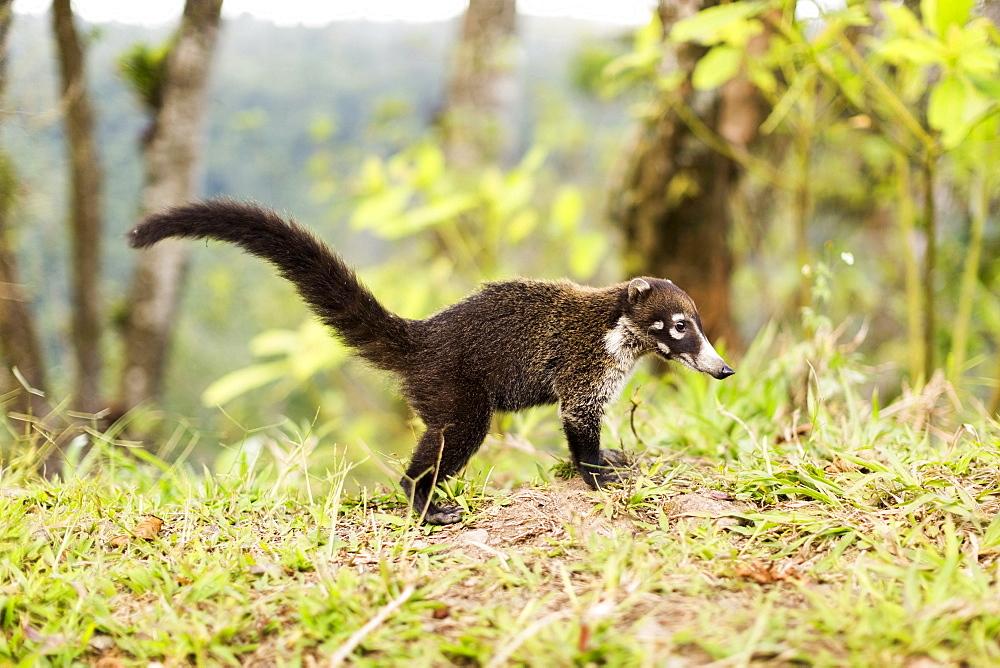 Coati in grass, Costa Rica