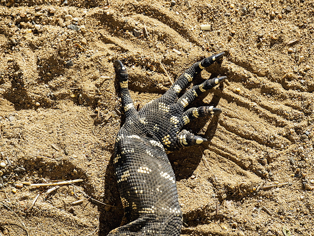 Close-up of claws of goanna (Varanus varius) in sand