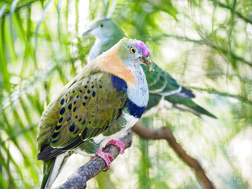 Superb fruit dove (Ptilinopus superbus) perching on tree branch