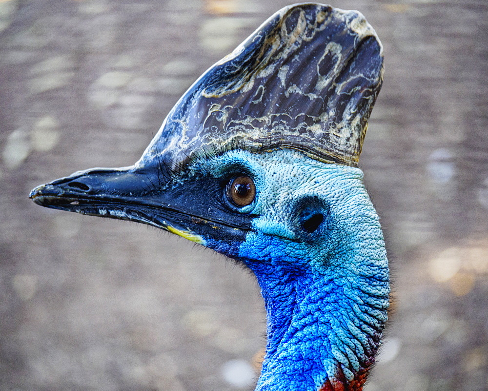 Close-up portrait of cassowary (Casuarius)
