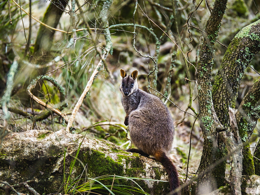 Australia, New South Wales, Jenolan Caves, Brush-tailed rock-wallaby (Petrogale penicillata) sitting on rock among branches