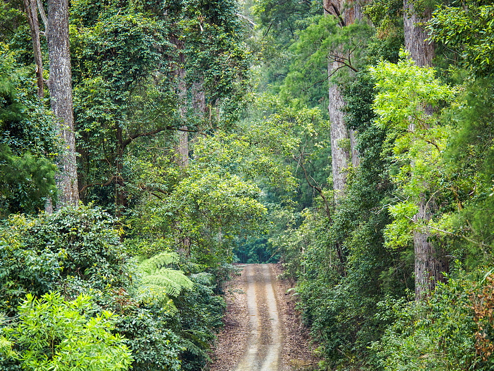 Australia, New South Wales, Port Macquarie, Dirt road in lush forest
