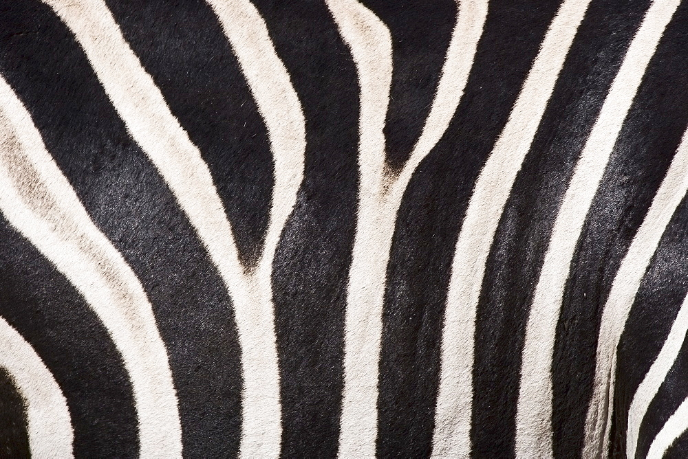 Close up of zebra fur