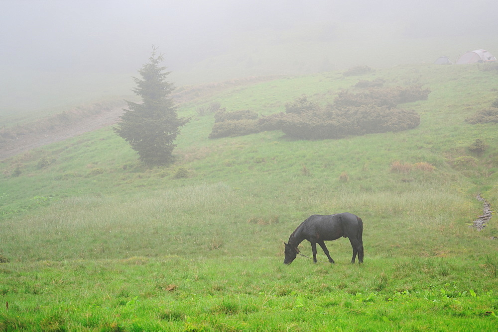Ukraine, Zakarpattia, Rakhiv district, Carpathians, Black horse grazing in grass at dawn
