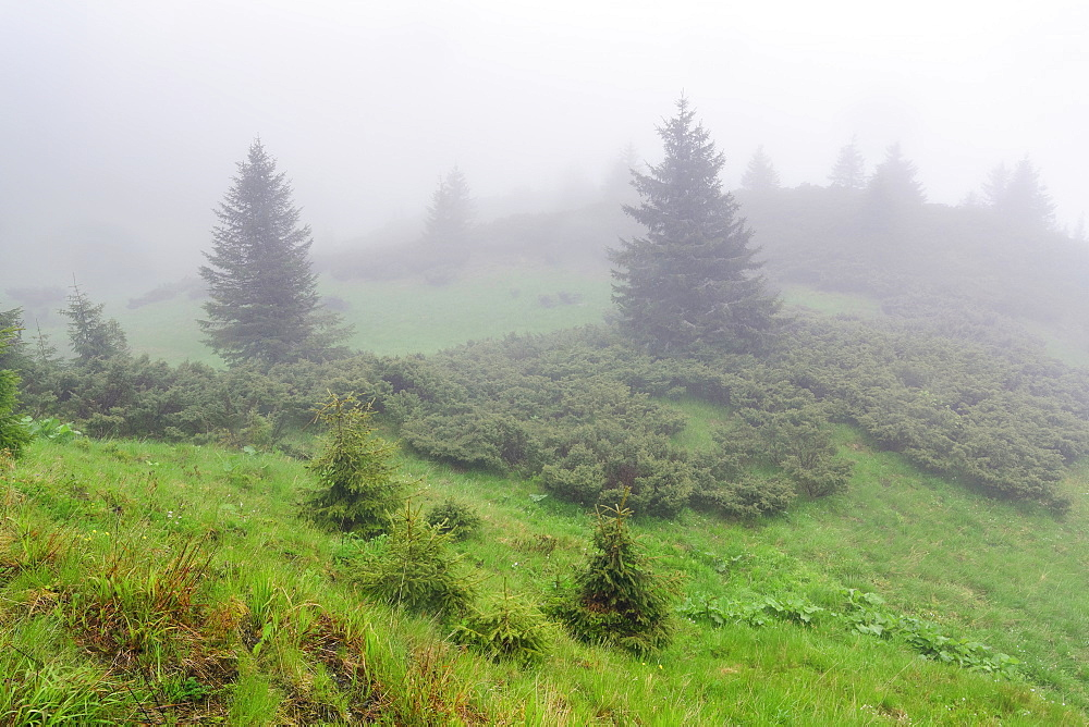 Ukraine, Zakarpattia, Rakhiv district, Carpathians, Maramures, Fog covering evergreen trees