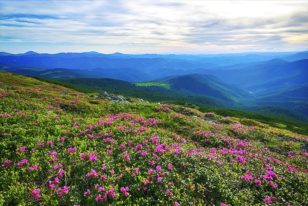 Ukraine, Ivano-Frankivsk region, Verkhovyna district, Carpathians, Chernohora, Pink flowers in mountain landscape