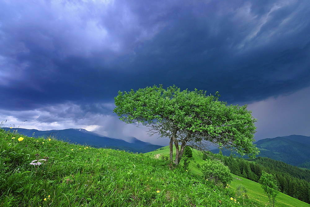 Ukraine, Ivano-Frankivsk region, Verkhovyna district, Carpathians, Dzembronya village, Green tree under storm clouds