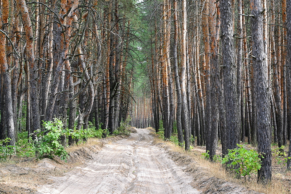 Ukraine, Dnepropetrovsk region, Novomoskovsk district, Dirt road in forest