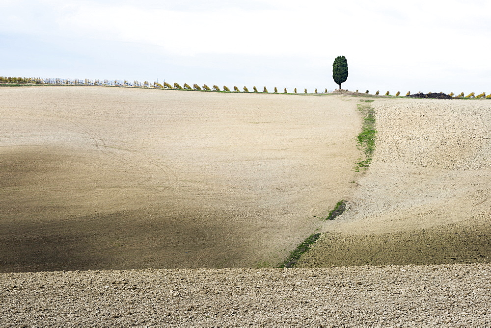 Italy, Tuscany, San Quirico D'orcia, Lonely cypress tree standing on top of gray Tuscany hill with vineyard rows
