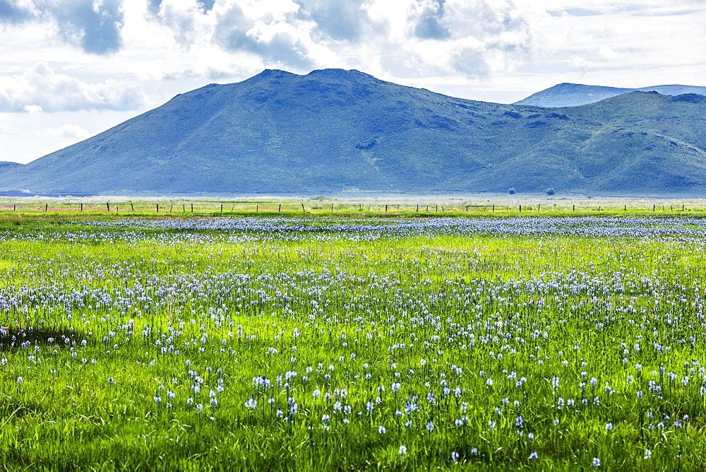 Wildflowers in field in Fairfield, Idaho, USA
