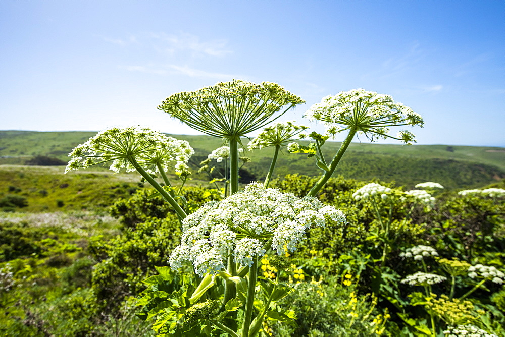 Cow parsnip in field in San Francisco, California, USA