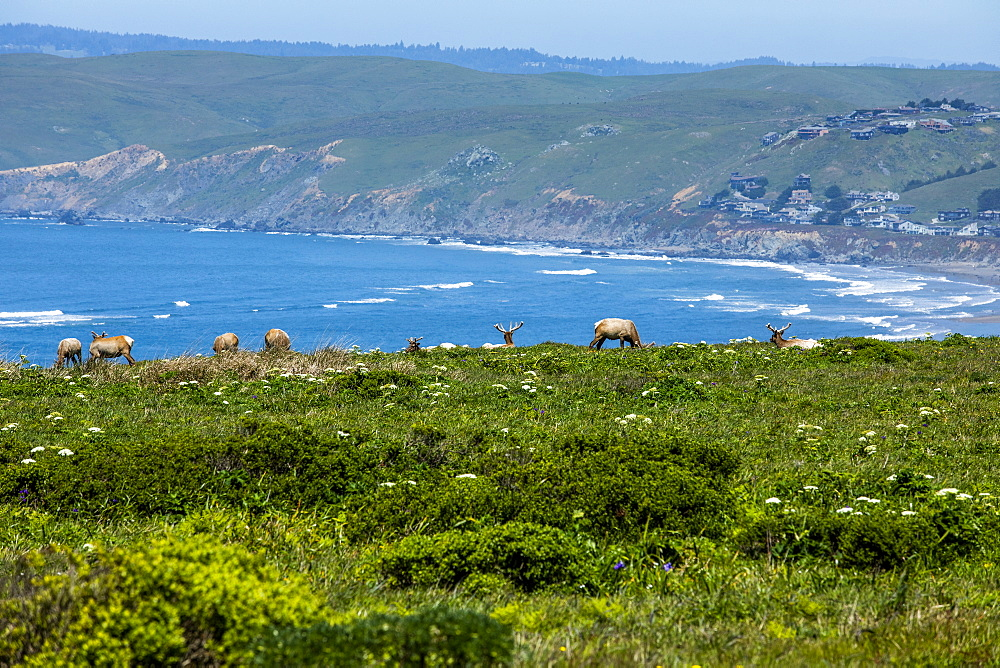 Elk grazing by sea in San Francisco, California, USA
