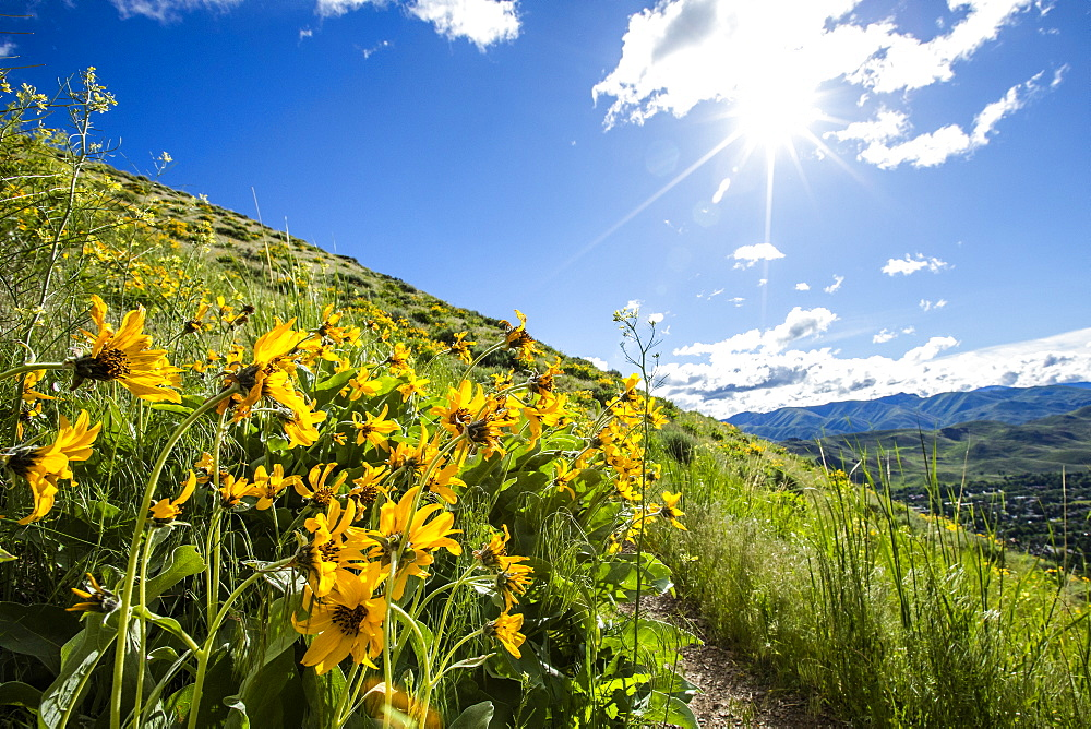 Yellow flowers in Sun Valley, Idaho, USA