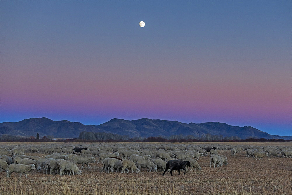 Flock of sheep at sunset in Picabo, Idaho