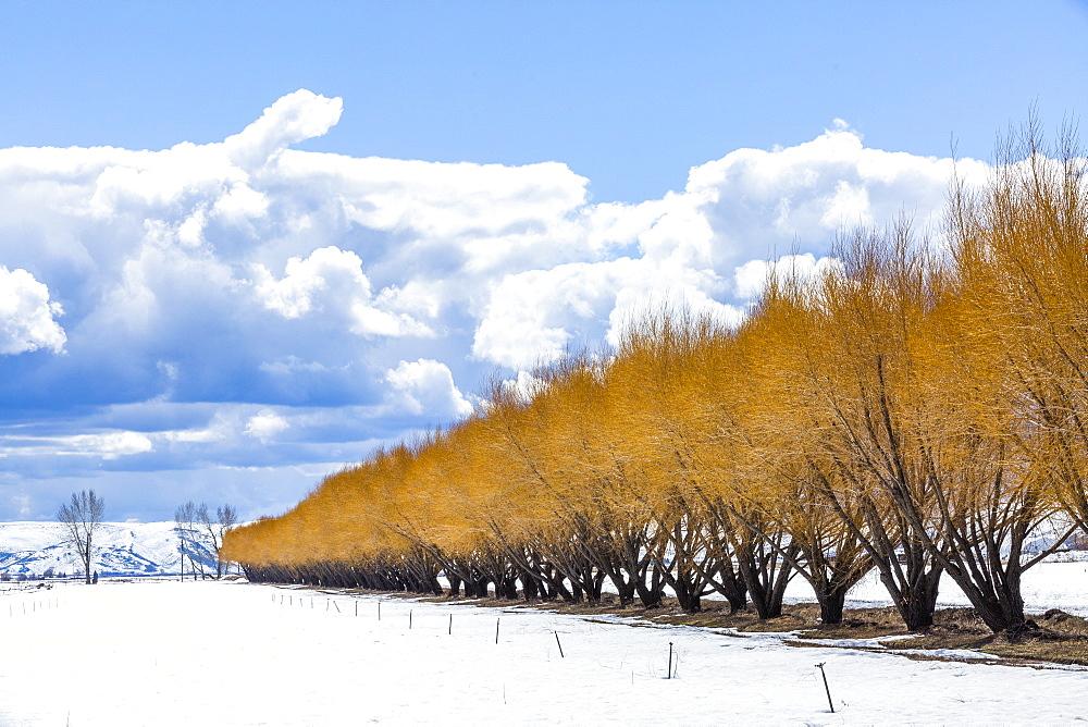 Autumn trees in snow in Bellevue, Idaho, USA