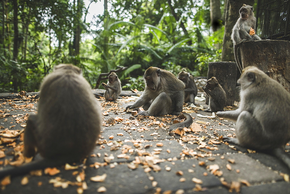 Macaques on pavement with leaves in Bali, Indonesia